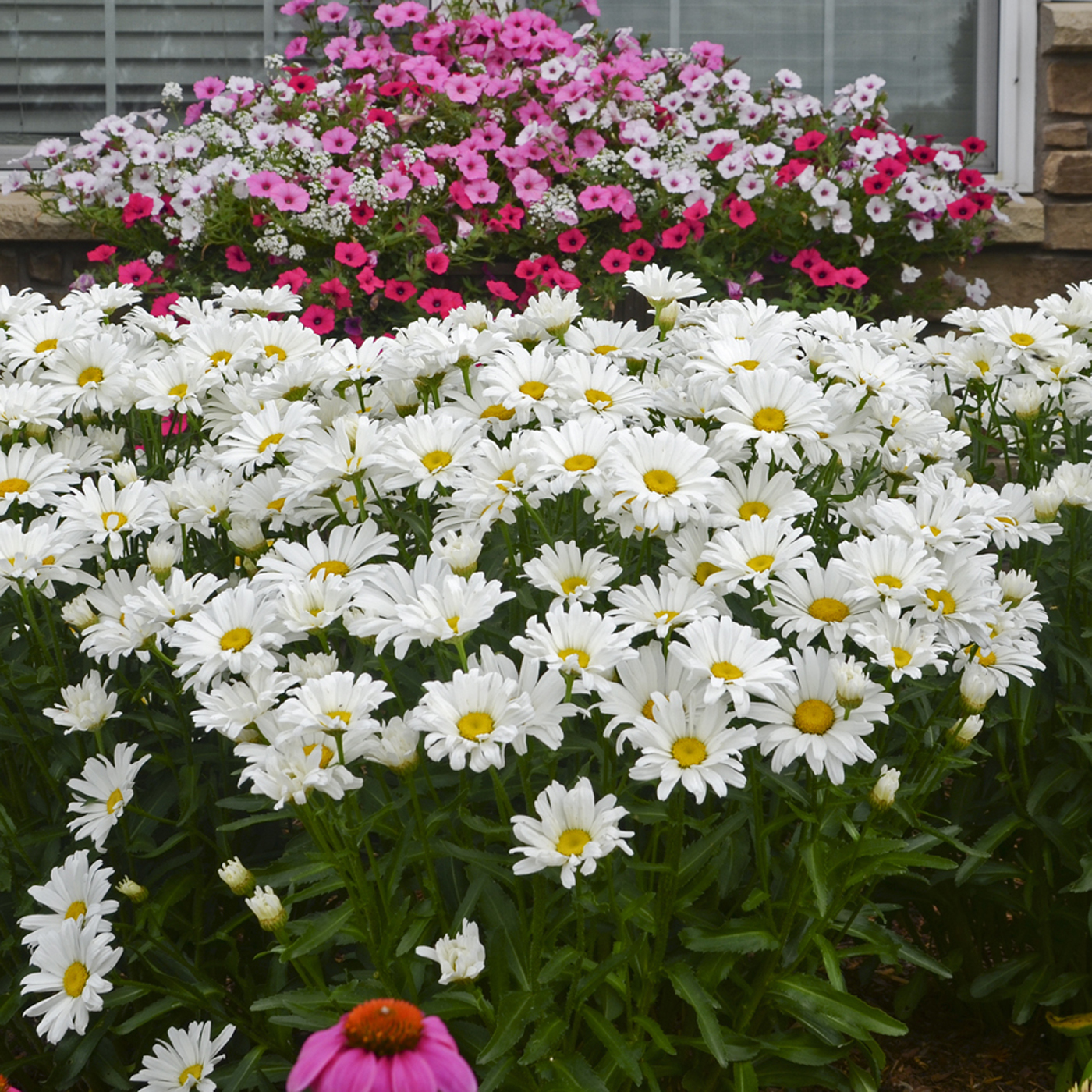 Daisy Fleabane. Growing up, this was always a favorite